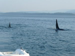 Whales off the stern - Gulf Islands_5341946741_l