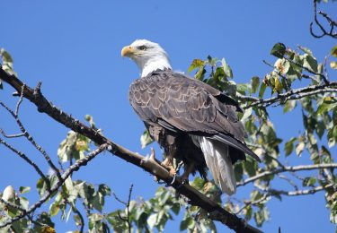 Bald Eagles are commonly found on Vancouver Island.