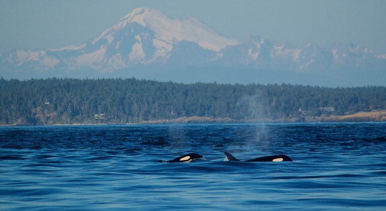 san juan islands orca whale watching