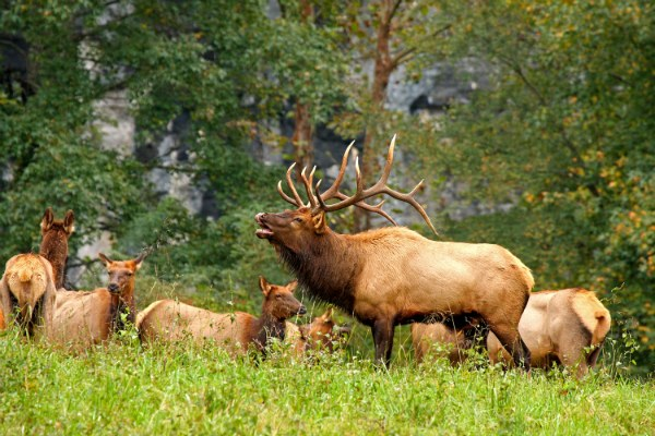 Elk is the larger antlers which is also known as 'Wapiti' in the Native American tongue is a light-coloured deer.