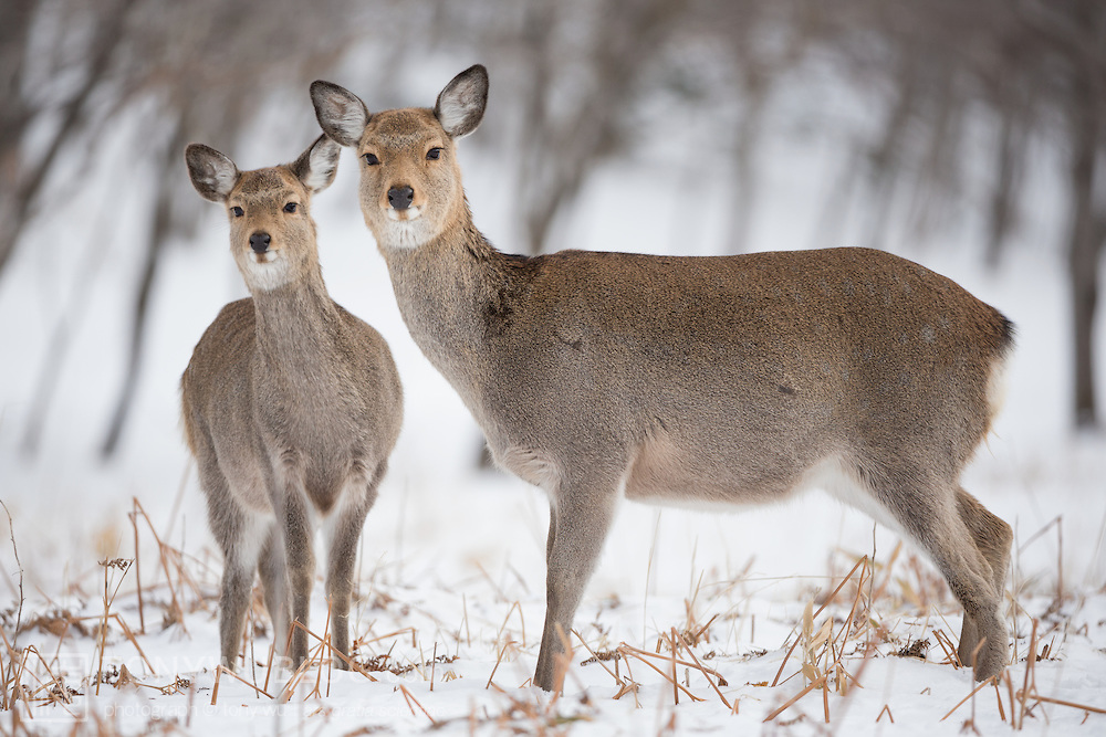 The Sitka deer is a subspecies of mule deer, they are extraordinarily good swimmers.