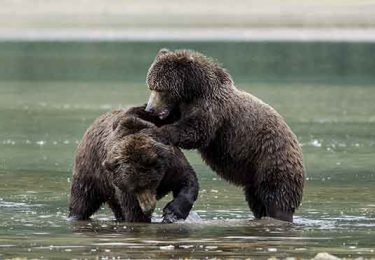 north america alaska kodiak bears